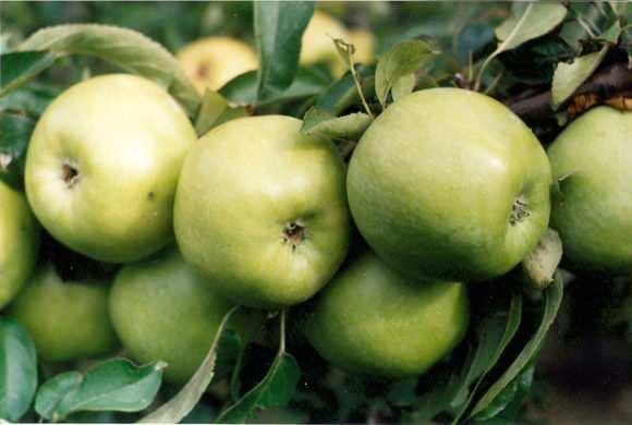 яблоки из сада