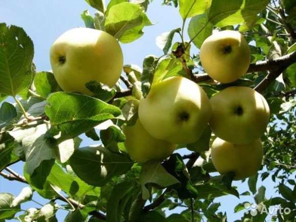 яблоки белые сорта