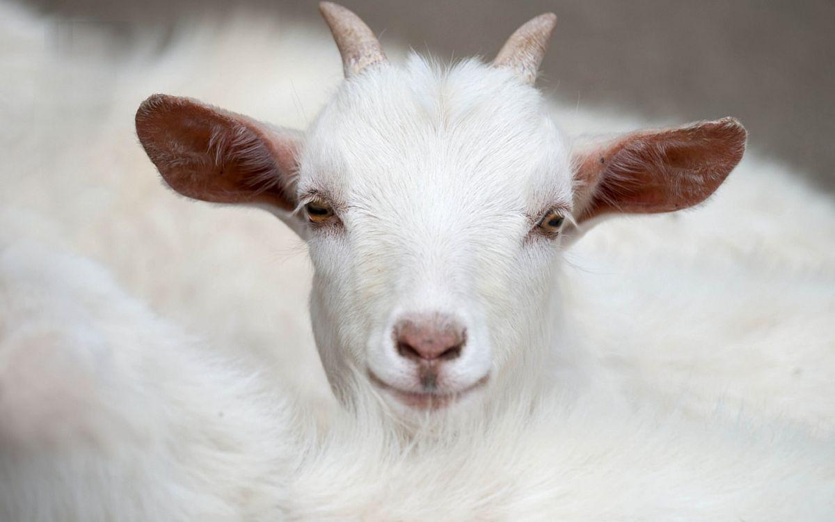 маленькая коза