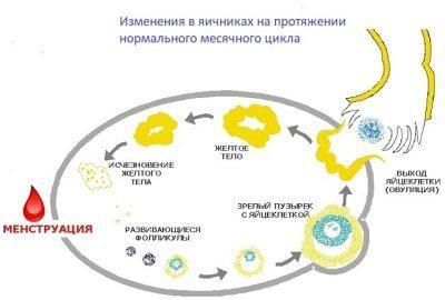 желтое тело
